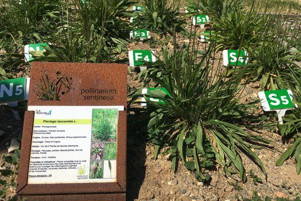 Le plantain, une plante commune et très allergisante, surtout en ce moment.
