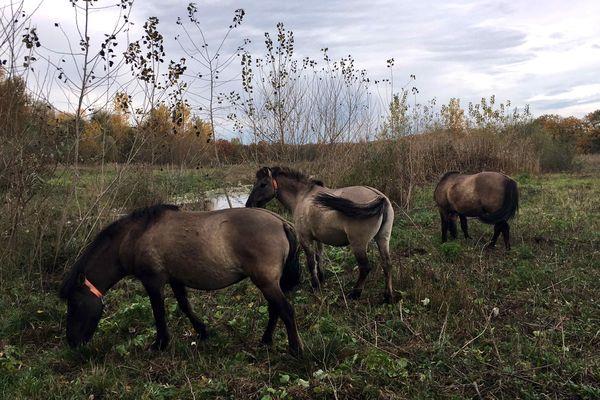 Les chevaux Konik Polski installés sur l'Ile du Rhin