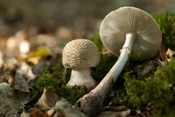 champignons amanites rougissantes
