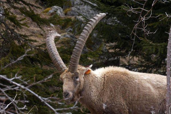 Le bouquetin de la Vanoise présente une diversité génétique plus élevée que le bouquetin de l'arc méditerranéen.