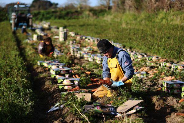La récolte des carottes de Créances (archives décembre 2017)