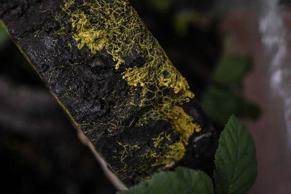 Le Blob présenté au Zoo de Vincennes. L'organisme se propage sur les écorces d'arbres.