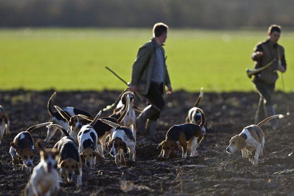 La vénerie, un mode de chasse ancestral qui consiste à lancer une meute de chiens à la poursuite un animal sauvage jusqu'à sa prise.