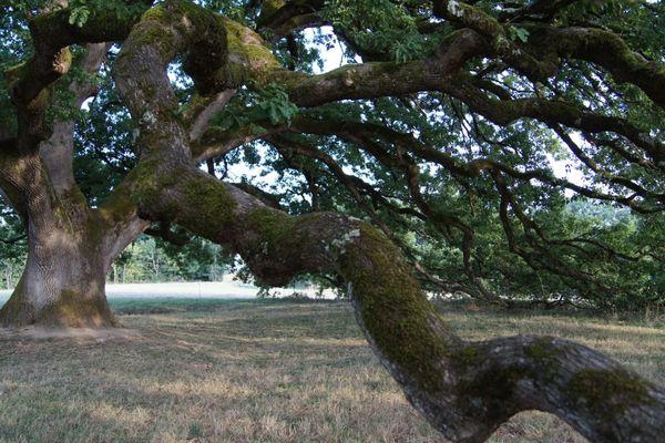 Le chêne de Tombeboeuf remarquable par son port, ses dimensions.