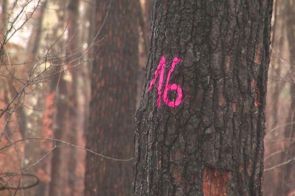 Après l'incendie ayant ravagé la forêt du Pignada à Anglet, la moitié des 90 hectares de pins devront être rasés dans les mois à venir. Trop abîmés par les flammes pour reprendre, ces arbres sont aussi menacés par une invasion d'insectes ravageurs, les scolytes.