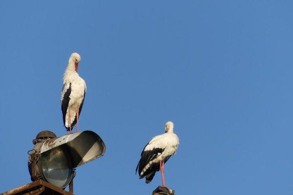 Chaque jour, de la fin août à début septembre, des dizaines de cigognes font escale à Besançon