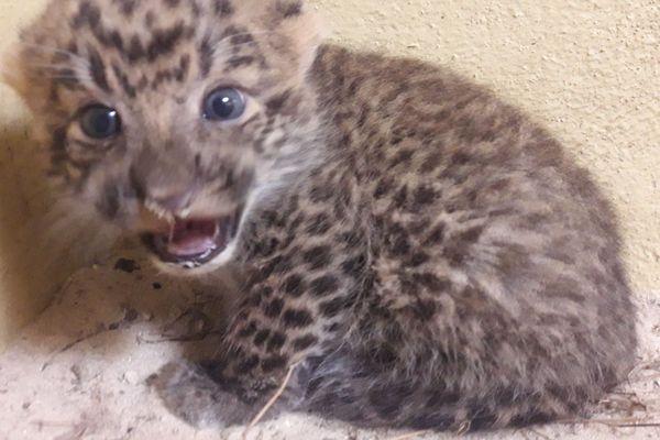 Un bébé panthère de Chine du Nord né au Zoo de Thoiry (Yvelines).