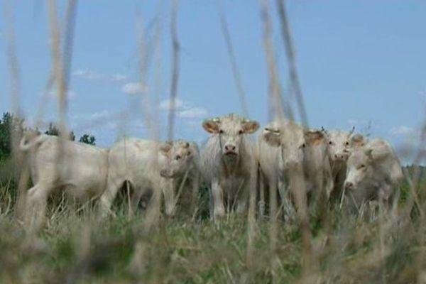Troupeau de bovins appartenant à Alain Monmasson à Vallenay (Cher)
