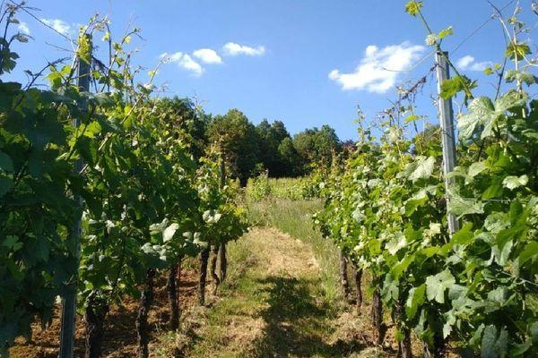 Les vignes de l'AOC Vins de Moselle à Vaux