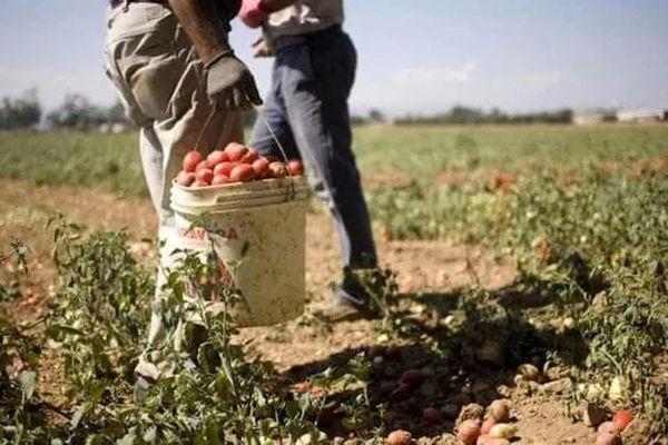 Pour la récolte des tomates dans les Pouilles, les exploitants font appel à de nombreux migrants