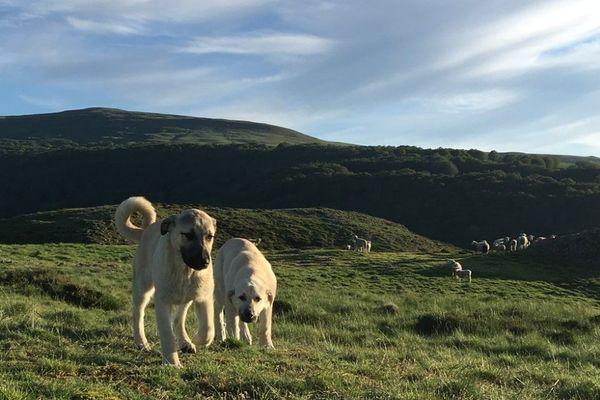 Deux jeunes chiens de protection gardent les brebis dans la vallée de Collandres ( Cantal).