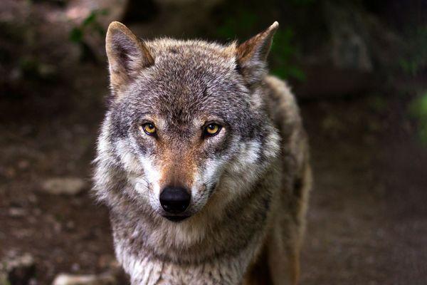 Le loup fait-il son retour en Vendée ? (photo d'illustration)