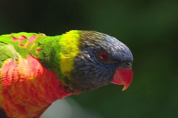 Un Lori du Parc des oiseaux de Villars-les-Dombes (Ain).