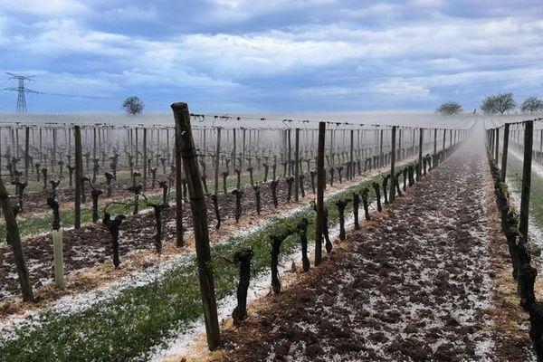 Une vigne meurtrie, plus une feuille, plus de grapillon, plus rien au Château Le Raz à Saint-Méard de Gurzon en Gironde.