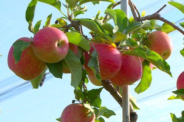 La saison 2020 des pommes ne s'annonce pas très abondante. Pas forcément une mauvaise nouvelle pour les producteurs qui ont des difficultés de recrutement de saisonniers en raison du coronavirus