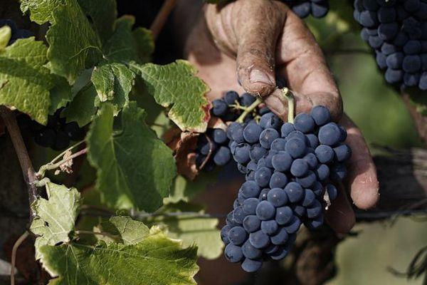 Les grappes de raisin sont prêtes pour être vendangées.
