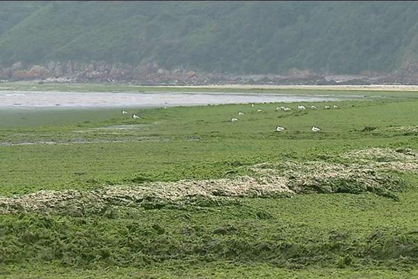 Invasion d'algues vertes à Hillion dans les Côtes-d'Amor