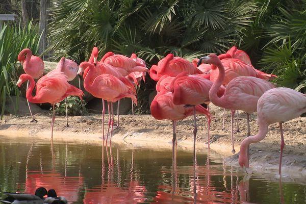 Les flamands roses sont l'un des emblèmes du zoo de la Palmyre (Charente-Maritime).
