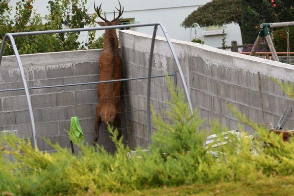 Puy De Dome Un Cerf Abattu Apres Avoir Trouve Refuge Dans Le Jardin D Un Particulier