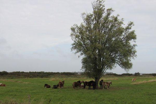 Les chevaux dans les polders de Ploubalay