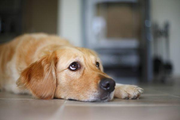 Les chiens sont les animaux les plus concernés par la zoophilie (illustration).