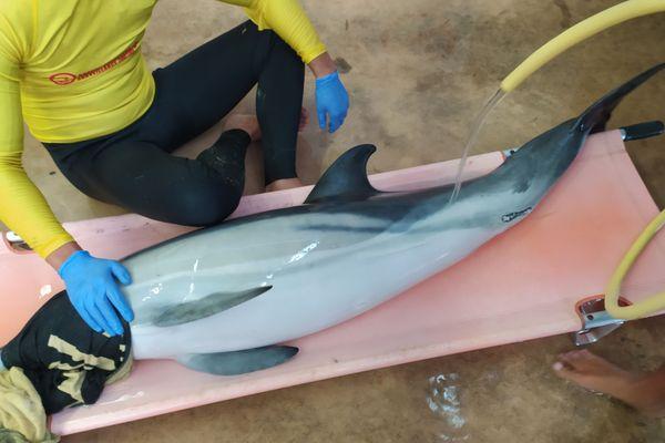 Ce dauphin a lui aussi été sauvé quelque jours après le requin bleu.