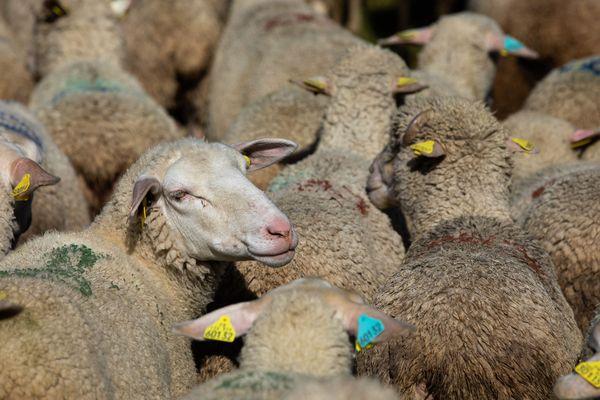 Des milliers de mouton sont descendus du plateau des Ramées, direction Lans-en-Vercors. Photo d'illustration.