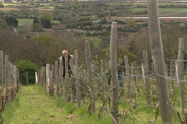 La vigne est planté sur les pentes sud du Mont Barbey, près de Barneville-Carteret (Manche)