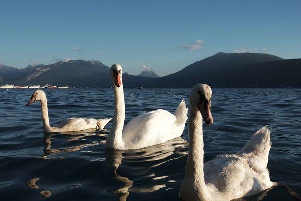 Les cygnes, emblème du lac d'Annecy.