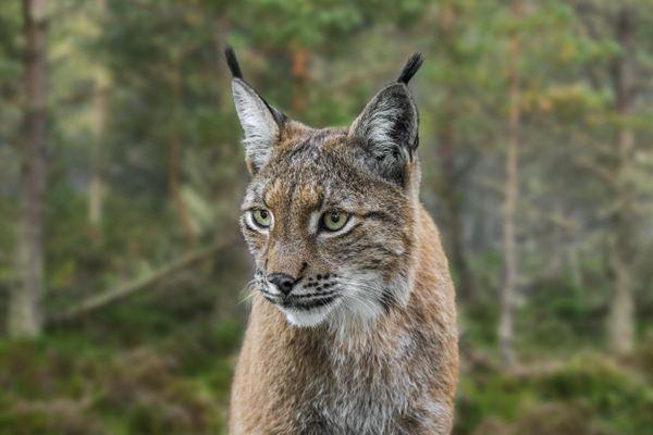 Le lynx est une espèce protégée, on compte une centaine d'individus dans le massif du Jura.