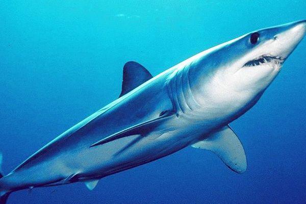 Le requin-taupe est une espèce menacée.