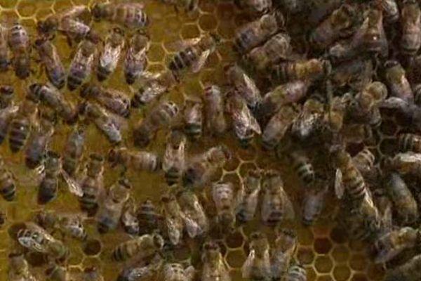 Aider les abeilles et les apiculteurs, c'est l'objectif de ce maillage de surveillance sanitaire mis en place par l'Etat.