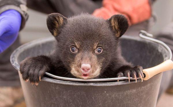 Dakota, une des oursonnes nées au parc de Sainte-Croix attend les visiteurs.