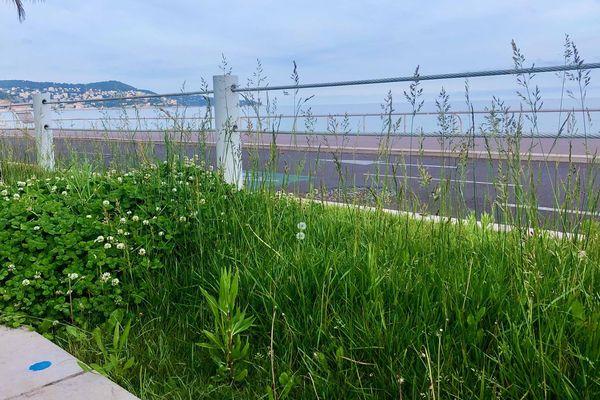 La promenade des Anglais bientôt envahie par les herbes folles ? Une vision rafraîchissante.