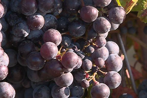 L'artaban, un nouveau cépage hybride, résiste au mildiou et à l'oïdium, deux des maladies les plus fréquentes de la vigne. - 13/09/2019