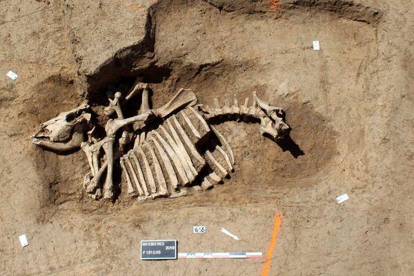 Un squelette de cheval découvert dans un fossé laténien.