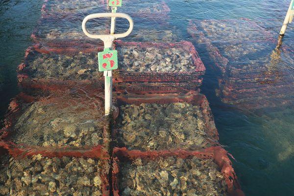 Les huîtres Pousse en Clair