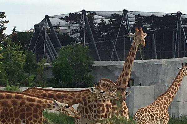 Les 15 girafes du Parc Zoologique de Paris constituent l'un des plus grands troupeaux captifs d'Europe.