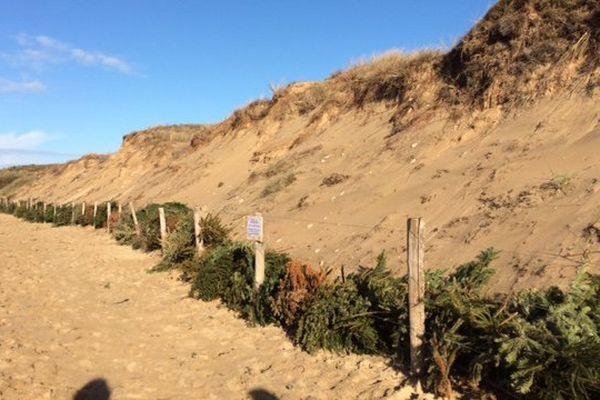 Des centaines de sapins de Noël ont été déposées au pied des dunes de Bois-Plage sur l'île de Ré pour les renforcer.