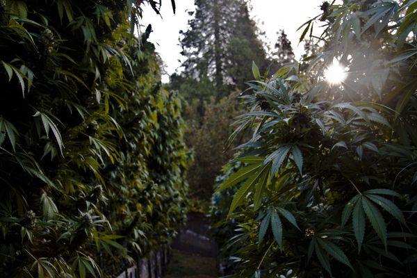 """Planter du cannabis en Creuse et créer une filière locale de transformation pour fabriquer des produits à base de cannabis """"thérapeutique"""" (contenant du CBD, mais - de 0.2% de THC), c'est l'objectif d'un agriculteur creusois."""