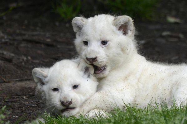 En 2013, trois bébés lions blancs d'Afrique sont nés.