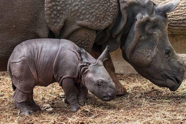 Henna, la femelle rhinocéros indien, en compagnie de son nouveau-né.