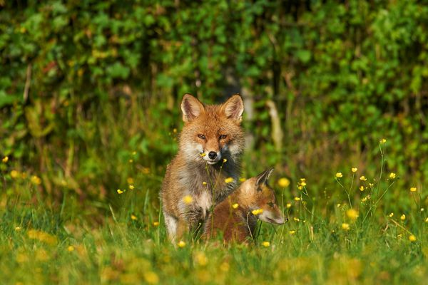 Renards, sangliers, cerfs, ragondins: la population de ces animaux est impactée par le confinement avec des conséquences multiples.