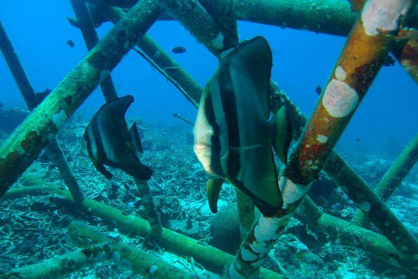 L'ONG Scaph Pro fait revivre des zones marines grâce aux récifs articiels