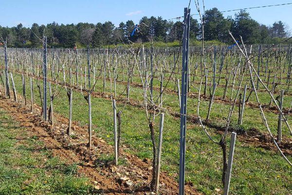 L'expérimentation de taille tardive des vignes est menée sur cette parcelle d'un demi hectare répartie entre deux cépages, le pinot noir et le chardonnay.