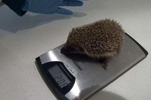 Ce petit hérisson fait désormais partie des pensionnaires du centre de soins pour mammifères sauvages.