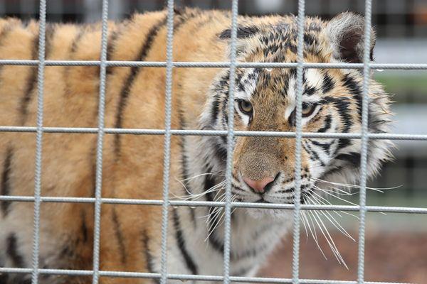 Un tigre en cage dans un cirque français