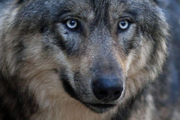 Loup, dans le Mercantour (Archives)