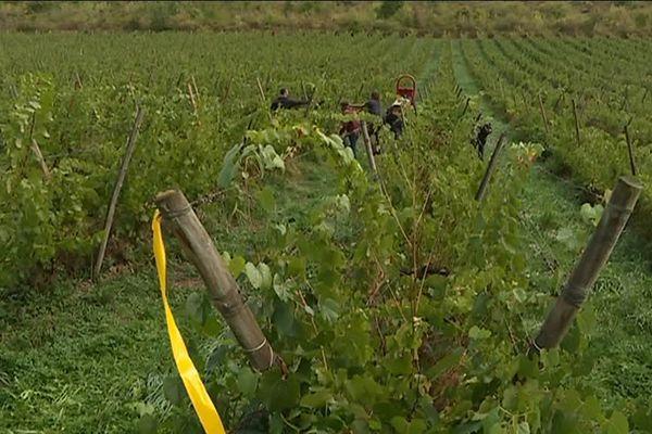 Les vendanges se terminent à Vuillafans, où un jeune viticulteur, Yannick Cardonne, a fait renaître des vignes.