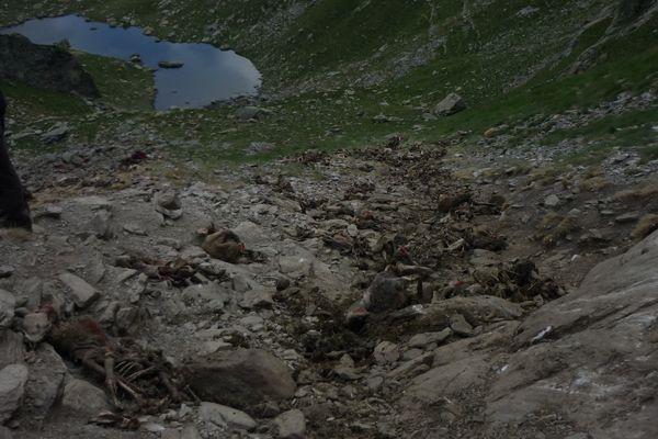 Le dérochement de 209 brebis, en Ariège, est attribué à l'ours.